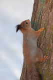 Squirrel on a tree in winter Royalty Free Stock Image