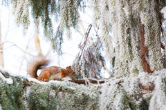 Squirrel on tree at winter Royalty Free Stock Photos