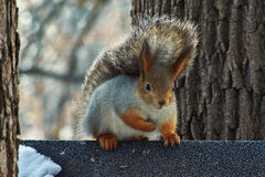 Squirrel on a tree  in winter forest. Stock Photos