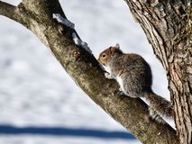 squirrel in a tree stock images