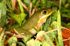 Squirrel Treefrog (Hyla squirella) Royalty Free Stock Image