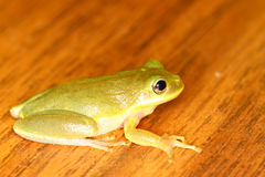 Squirrel Treefrog (Hyla squirella) Royalty Free Stock Image