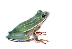 Squirrel Treefrog Isolated on White. A Squirrel Treefrog looking up isolated on white Royalty Free Stock Images