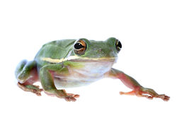 Squirrel Treefrog Isolated on White. A macro photo of a squirrel treefrog isaolated on white stock photos