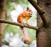 Squirrel on the treel Royalty Free Stock Image