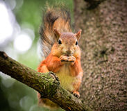 Squirrel on the treel Stock Image