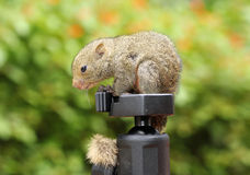Squirrel on tripods. Baby squirrel lying on camera tripods Stock Photography