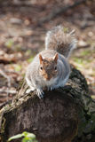 Squirrel on trunk. Squirrel in Hyde Park i London Stock Photo