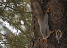 Squirrel on the trunk of a pine. In the forest Stock Photography