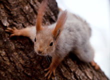 Squirrel on the trunk of pine tree Stock Images