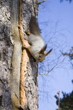 Squirrel on the trunk of tree. The squirrel on the trunk of tree Stock Image