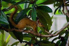 Squirrel on the trunk of a tree. A squirrel in search of food in a fruit tree among large leaves and branches royalty free stock images