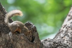 Squirrel trying to duck into Hollow of a Tree. Seeking food or live in the hole royalty free stock image