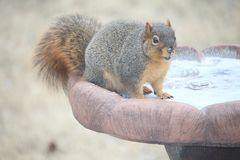 Squirrel trying to get a drink. Mr. squirrel trying to get a drink though the ice Stock Photography