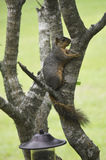 Squirrel trying to hide royalty free stock photos