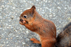 Squirrel and two acorns Royalty Free Stock Photo