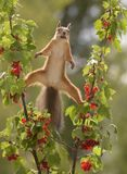 Squirrel between two branches  red currant Stock Photos