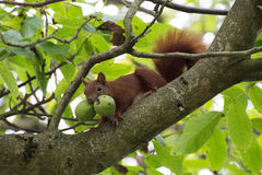 Squirrel with two walnuts. A squirrel with two walnuts in the tree Stock Image