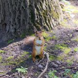 Squirrel under a tree. With a nut Stock Photography