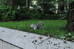 Squirrel in the United States, one I caught in New York exposure Stock Image