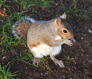 Squirrel  in University of Glasgow Stock Images