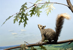 Squirrel Up High Royalty Free Stock Photography