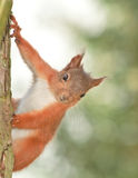 Squirrel up a tree Royalty Free Stock Photo