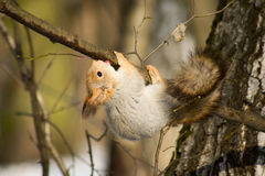 Squirrel upside down Stock Images