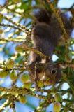 Squirrel Upside-Down Stock Photos