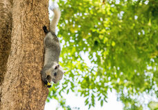 Squirrel. The squirrel is upside down eating on tree royalty free stock images
