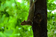 Squirrel Upside Down on a Tree Stock Photo