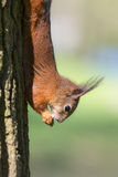 Squirrel upside down Royalty Free Stock Photos