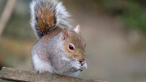 Squirrel in urban garden feeding.