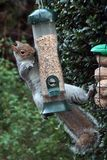 Squirrel on a bird feeder royalty free stock photography