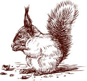 Squirrel. Vector the image of a squirrel eating nuts Royalty Free Stock Images