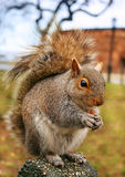 Squirrel. version 2 Royalty Free Stock Image