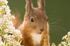 Squirrel is very happy Royalty Free Stock Image