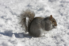 Squirrel. A very nice squirrel in Montreal, Canada eating in the snow Stock Photos