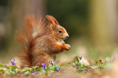 Squirrel and violets Royalty Free Stock Photos