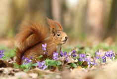 Squirrel in violets Royalty Free Stock Photos