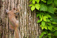 Squirrel with Virginia Creeper. Reddish Gray Squirrel on tree trunk with Virginia Creeper vine Royalty Free Stock Photo