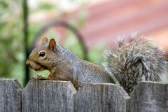 Squirrel visit Royalty Free Stock Image