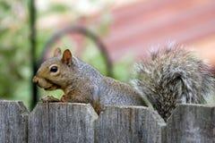 Squirrel visit. Brazen squirrel visits my back yard Royalty Free Stock Image