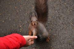 Squirrel a vista nas patas da câmera baseada na mão do ` s da criança Fotografia de Stock Royalty Free