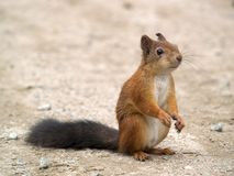 Squirrel Waiting. Little red squirrel waiting for meal on road Royalty Free Stock Image