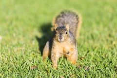 Squirrel waiting for food Stock Images