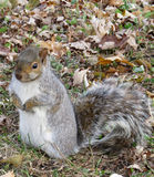 Squirrel waiting for nuts. Grey tree squirrel with white fur waits to be fed in a park in the autumn Stock Photos