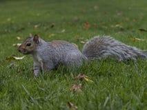 Squirrel walking in grass stock photo
