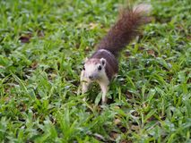 The squirrel walking on grass. Stock Images