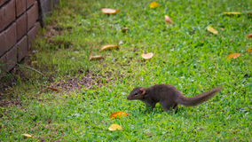 Squirrel walking on green grass Stock Image